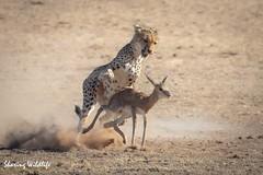 KTP19 FL-3595 (Sharing Wildlife | Sharing Moments) Tags: kgalagadi transfrontier park wildlife safari nature animals sharing cheetah