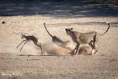 KTP19 FL-3567 (Sharing Wildlife | Sharing Moments) Tags: kgalagadi transfrontier park wildlife safari nature animals sharing cheetah