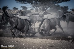 KTP19 FL-2893 (Sharing Wildlife | Sharing Moments) Tags: kgalagadi transfrontier park wildlife safari nature animals sharing gnoe wildebeest