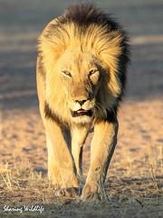 KTP19 FL-1934 (Sharing Wildlife | Sharing Moments) Tags: kgalagadi transfrontier park wildlife safari nature animals sharing lion leeuw