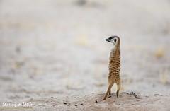 KTP19 FL-9414 (Sharing Wildlife | Sharing Moments) Tags: kgalagadi transfrontier park wildlife safari nature animals sharing stokstaartje
