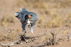 KTP19 FL-8332 (Sharing Wildlife | Sharing Moments) Tags: kgalagadi transfrontier park wildlife safari nature animals sharing birds vogels