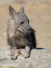 KTP19 FL-5135 (Sharing Wildlife | Sharing Moments) Tags: kgalagadi transfrontier park wildlife safari nature animals sharing hyena