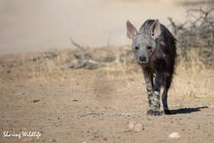 KTP19 FL-5028 (Sharing Wildlife | Sharing Moments) Tags: kgalagadi transfrontier park wildlife safari nature animals sharing hyena