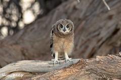 KTP19 FL-4204 (Sharing Wildlife | Sharing Moments) Tags: kgalagadi transfrontier park wildlife safari nature animals sharing birds vogels