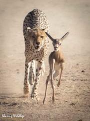 KTP19 FL-3589 (Sharing Wildlife | Sharing Moments) Tags: kgalagadi transfrontier park wildlife safari nature animals sharing cheetah