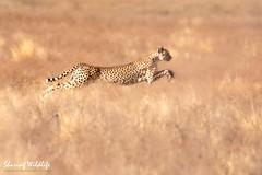 KTP19 FL-9103 (Sharing Wildlife | Sharing Moments) Tags: kgalagadi transfrontier park wildlife safari nature animals sharing cheetah