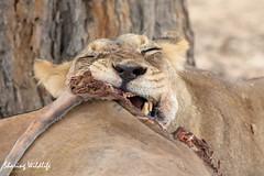 KTP19 FL-2151 (Sharing Wildlife | Sharing Moments) Tags: kgalagadi transfrontier park wildlife safari nature animals sharing lion leeuw