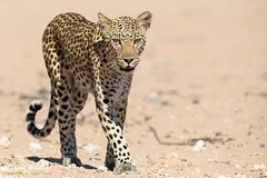 KTP19 FL-4219 (Sharing Wildlife | Sharing Moments) Tags: kgalagadi transfrontier park wildlife safari nature animals sharing leopard