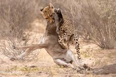 KTP19 FL-2456 (Sharing Wildlife | Sharing Moments) Tags: kgalagadi transfrontier park wildlife safari nature animals sharing cheetah