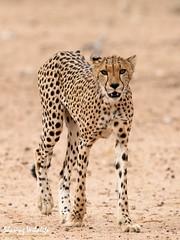 KTP19 FL-2202 (Sharing Wildlife | Sharing Moments) Tags: kgalagadi transfrontier park wildlife safari nature animals sharing cheetah