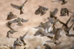 KTP19 FL-2149 (Sharing Wildlife | Sharing Moments) Tags: kgalagadi transfrontier park wildlife safari nature animals sharing birds vogels