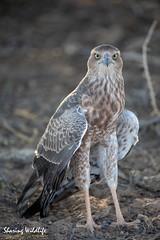 KTP19 FL-1718 (Sharing Wildlife | Sharing Moments) Tags: kgalagadi transfrontier park wildlife safari nature animals sharing