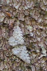 Lepa-samblikuvaksik; Aethalura punctulata; Grey Birch (urmas ojango) Tags: lepidoptera liblikalised insecta insects putukad moth vaksiklased nationalmothweek geometridae lepasamblikuvaksik aethalurapunctulata greybirch
