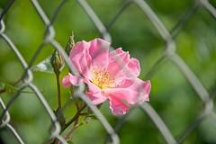 Fenced in - HFF! (JSB PHOTOGRAPHS) Tags: 8008915 rose flower fence fencefriday eugeneoregon nikon owenmemorialrosegarden owenrosegarden bokehlicious bokeh hff happyfencefriday