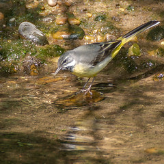 Western Yellow Wagtail (Duff Depictions) Tags: water reflection bird photography wag tail wagtail yellow