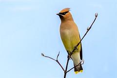 Cedar Waxwing (Gary R Rogers) Tags: cedarwaxwing perched bird