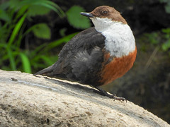 Dipper | Ball Grove Park wildlife (Pendlelives) Tags: wildlife river nature colne laneshawbridge laneshaw bridge bird birds insects green space greenspace background colours vibrant nikon p1000 nelson trawden countryside british uk britain pendle pendlelives dipper water rocks rock