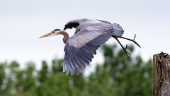 Great Blue Heron (Gary R Rogers) Tags: greatblueheron heron bird flight