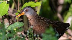 Virginia Rail (Gary R Rogers) Tags: oregon closeup virginiarail bird