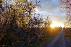 Sunset on the Millennium Trail (gabi-h) Tags: sunset hillier millenniumtrail roadway path gabih trees may princeedwardcounty sky clouds eveninglight sun