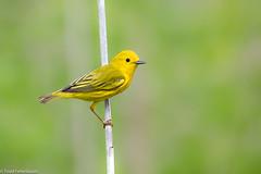 CA3I3484-Yellow Warbler (tfells) Tags: yellowwarbler bird nature wildlife mercer newjersey songbird passerine setophagapetechia