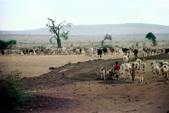 78-078 (ndpa / s. lundeen, archivist) Tags: nick dewolf color photograph photographbynickdewolf 1976 1970s film 35mm 77 reel77 africa northernafrica northeastafrica african ethiopia ethiopian people localpeople landscape terrain tree hills mountains man localman herder herd livestock cattle cows stick 78 reel78