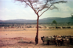 78-079 (ndpa / s. lundeen, archivist) Tags: nick dewolf color photograph photographbynickdewolf 1976 1970s film 35mm 77 reel77 africa northernafrica northeastafrica african ethiopia ethiopian people localpeople landscape terrain tree hills mountains man localman herder herd livestock cattle cows stick 78