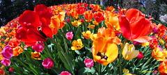 Un zampillio di colori primaverili  -  Comme un printemps jaillissant! (hmeyvalian) Tags: plantae tracheobionta magnoliophyta liliopsida liliidae liliales liliaceae tulipa tulipani tulips hybride jardinbotanique montréal montreal québeccanada fisheye rokinon8mmf28 canonm5