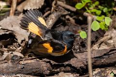 American Redstart (Douglas M. Winn) Tags: bird songbird warbler setophagaruticilla frontenacstatepark