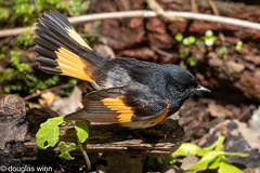 American Redstart (Douglas M. Winn) Tags: bird songbird warbler frontenacstatepark setophagaruticilla