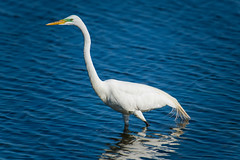 Great Egret with Green Lores (Daren Grilley) Tags: breeding bolsa chica ecological reserve huntington beach bird birding nikon d850 200500