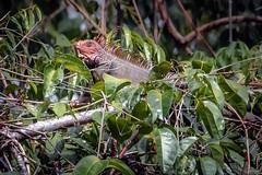 Treetop Iguana (helenehoffman) Tags: drakebay osapeninsula conservationstatusleastconcern iguana rioajujitas costarica lizard iguanaiguana americaniguana arboreal repile greeniguana herbivore animal