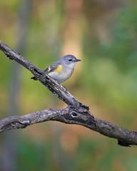 American Redstart (ryanmense) Tags: americanredstart redstart bird birding animal wildlife wisconsin