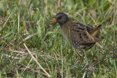 Porzana porzana (Joan Rigo Arnavat) Tags: birds ocells oiseaux nature natura wildlife crake pollapintada