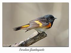 Paruline flamboyante / American Redstart 153A4668 (salmo52) Tags: oiseaux birds salmo52 alaincharette parulineflamboyante americanredstart danville étangburbank setophagaruticilla parulidae passériformes
