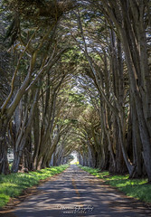 Cypress Tree Tunnel in Point Reyes National Seashore 5.17.19 1 (Marcie Gonzalez) Tags: kph maritime radio receiving station kphmaritimeradioreceivingstation inverness southern california enchanting tunnel cypress trees old morse code row towering tree cypresstrees bay area us usa north america telegram service ships early 20th century broadcasting acquired by rca corporation marin county marincoaststationkph clerestory pointreyesnationalseashore point reyes national seashore path road leading lines arching
