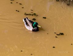 80D-229438.jpg (CitizenOfSeoul) Tags: naturfotografie naturphotography wiesen wasservögel ludwigsburg zugwiesen outdoorphotography outdoor naturschutzgebiet vögel natur wildlife