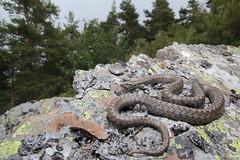 Coronella austriaca (Fernando_Iglesias) Tags: herping herps snake serpiente reptiles reptil ophidia