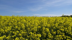 Yellow it is.... (Steenjep) Tags: landskab landscape field mark himmel sky rape raps blomst flower farm farming landbrug skov træ tree