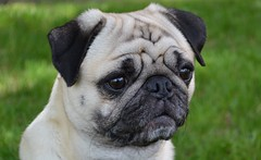 Happy Birthday Boo Lefou! (DaPuglet) Tags: pug pugs dog dogs animal animals happybirthday birthday three outdoors grass love cute portrait 3yearsold celebration party happy coth5
