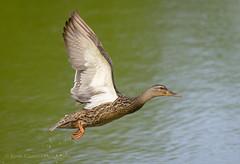 Mallard in flight (Kevin James54) Tags: anasplatyrhynchos lakegalena nikond850 peacevalleypark tamron150600mm animals avian bird duck kevingianniniphotocom mallard