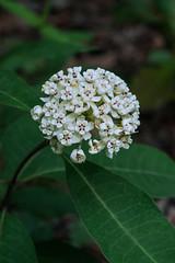 Asclepias variegta (Red-ring Milkweed) (jimf_29605) Tags: asclepiasvariegta redringmilkweed greenvillecounty southcarolina sony a7rii 90mm wildflowers