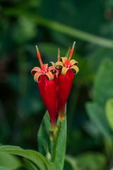 Spigelia marilandica (Indian Pink) (jimf_29605) Tags: spigeliamarilandica indianpink greenvillecounty southcarolina sony a7rii 90mm wildflowers
