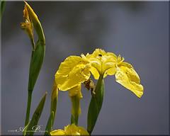 Gele Lis (♥ Annieta ) Tags: annieta mei 2019 sony6000 nederland netherlands krimpenerwaard allrightsreserved usingthispicturewithoutpermissionisillegal polder flower fleur flora bloem gelelis geel yellow jaune wildebloem wildflower iris
