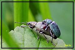 Rüsselkäfer bei der Paarung (tingel79) Tags: rüsselkäfer insects insekten natur nature nahaufnahme macro makro outdoor world day sony käfer
