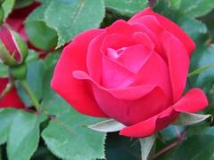 Red Roses (starmist1) Tags: rose roses rosebushred roserose gardensideyardmaggies gardenflower garden may cloudy cool spring
