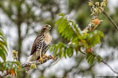 Guaraguao (Buteos jamaicensis) (juan.sangiovanni) Tags: redtailed hawk buteo jamaicensis busardo colirrojo warawao