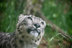 Aibek (zenseas) Tags: spring pantherauncia unciauncia phinnyridge aibek washington snowleopard woodlandparkzoo seattle wpz explore explored