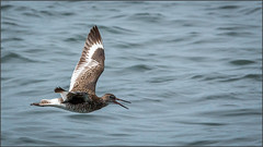 (c)WMH_2019_05_23_6705 Willet Low Flyer (WesleyHowie) Tags: